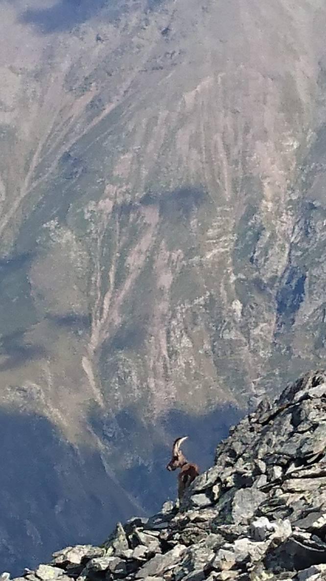Bouc couché au sommet de la Pique d'Estats