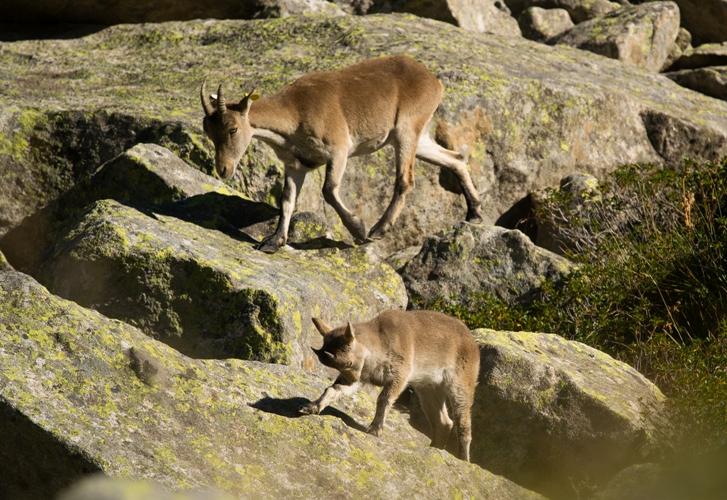 Quelques secondes de sérénité avec un cabri de bouquetin et sa mère dans les Pyrénées.