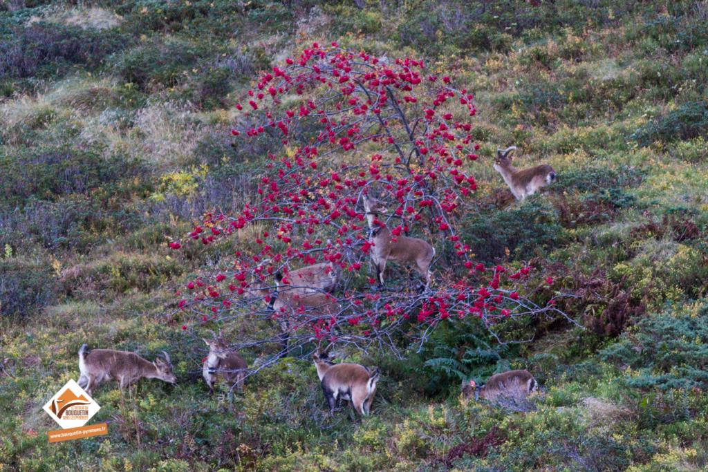 Groupe de bouquetins en train de se nourrir dans un sorbier