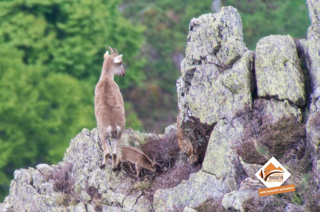 L'un des 3 cabris découverts le 7 mai dans les Pyrénées ariégeoises ©Jordi Estèbe