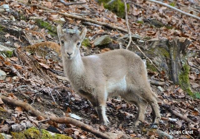 1er cabri à être né dans les Pyrénées françaises depuis au moins 100 ans.