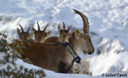 Groupe de bouquetins dans la neige avec un bouc de profil et les autres derrière.
