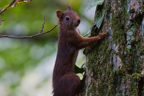 Ecureuil roux ©J.Estèbe