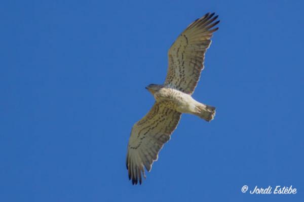 Circaète Jean le Blanc pris de dessous permettant de voir son plumage beige clair ©J.Estèbe