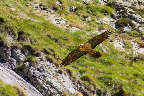Gypaète barbu pris de dessous en plein vol, permettant de voir son pelage ventral fauve et ses ailes sombres©J.Estèbe