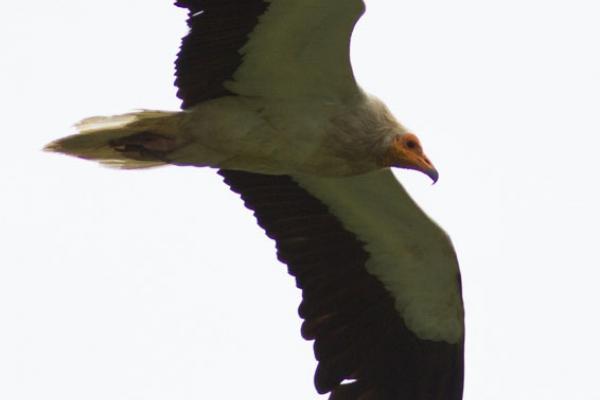 La photo de ce vautour Percnoptère permet de voir les trois couleurs jaune, blanc et noir ©J.Estèbe