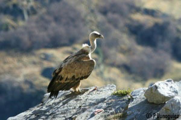 Vautour fauve posé sur un rocher, aux ailes déployées à moitié ©P.Dunoguiez - Parc national des Pyrénées
