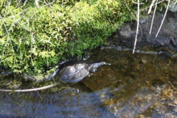 Desman en bord de berge dans l'eau ©Y.Bielle - Parc national des Pyrénées