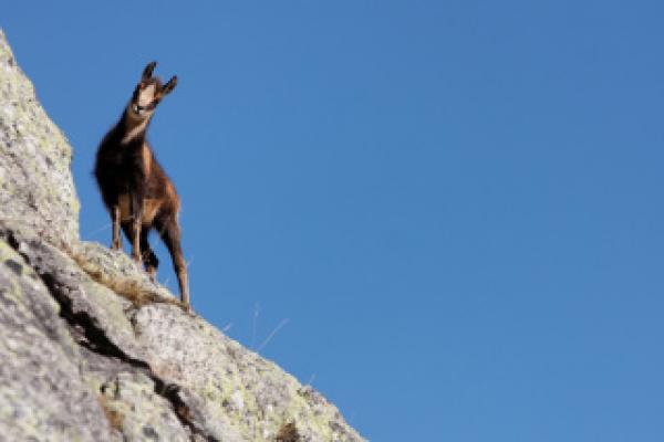 Isard ©C.Cuenin - Parc national des Pyrénées