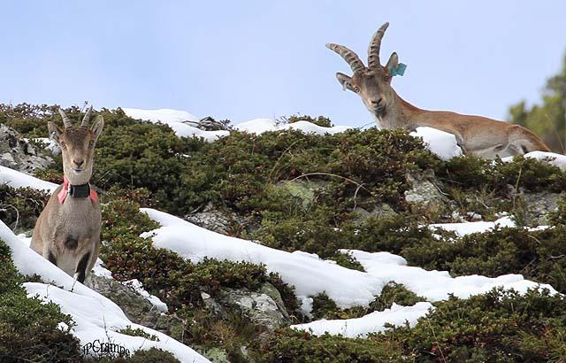 Un couple de bouquetins, les sabots dans la neige