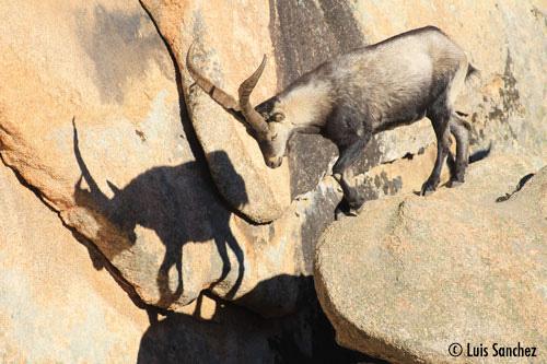 Bouc dans le rocher - Sierra de Guadarrama