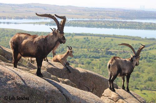 Groupe de mâles au dessus de la plaine - Sierra de Guadarrama