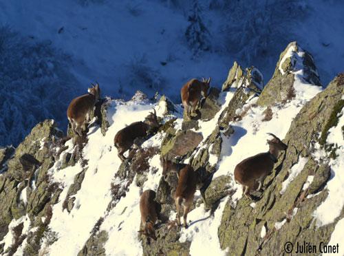Groupe de bouquetins dans la neige se nourrissant, accrochés au rocher
