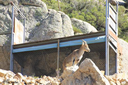 Bouquetin près d'une cage servant à le capturer en Espagne