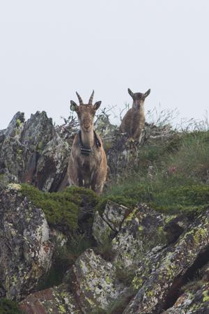 Etagne et son cabri sur une crête versant Espagnol des Pyrénées.