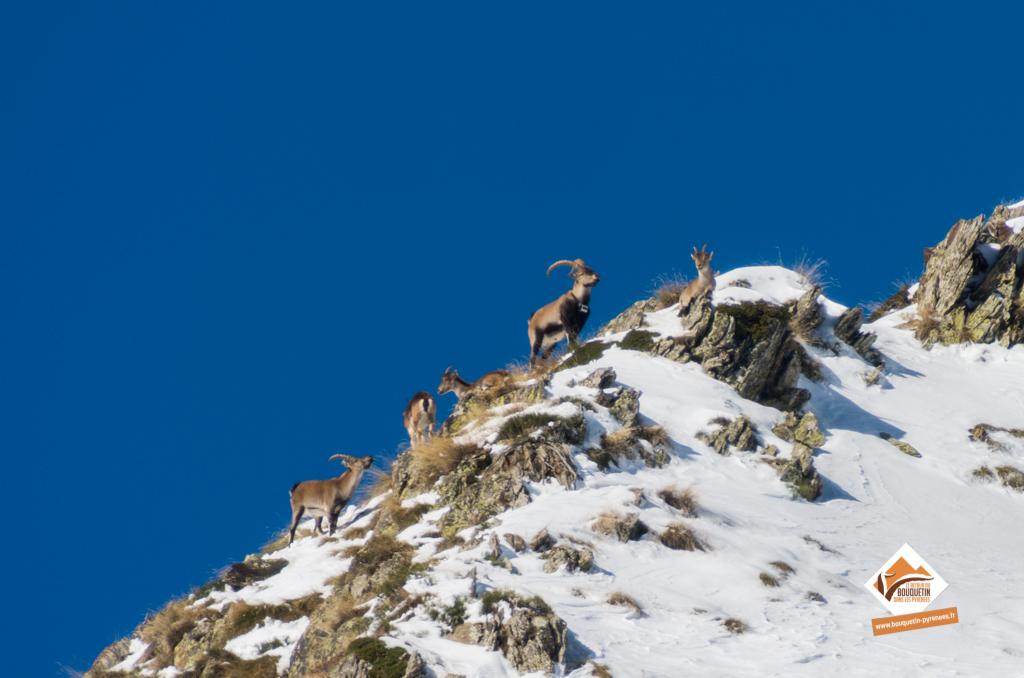 Groupe de bouquetin photographié dans le Parc natural de l'Alt Pirineu ©Jordi Estèbe