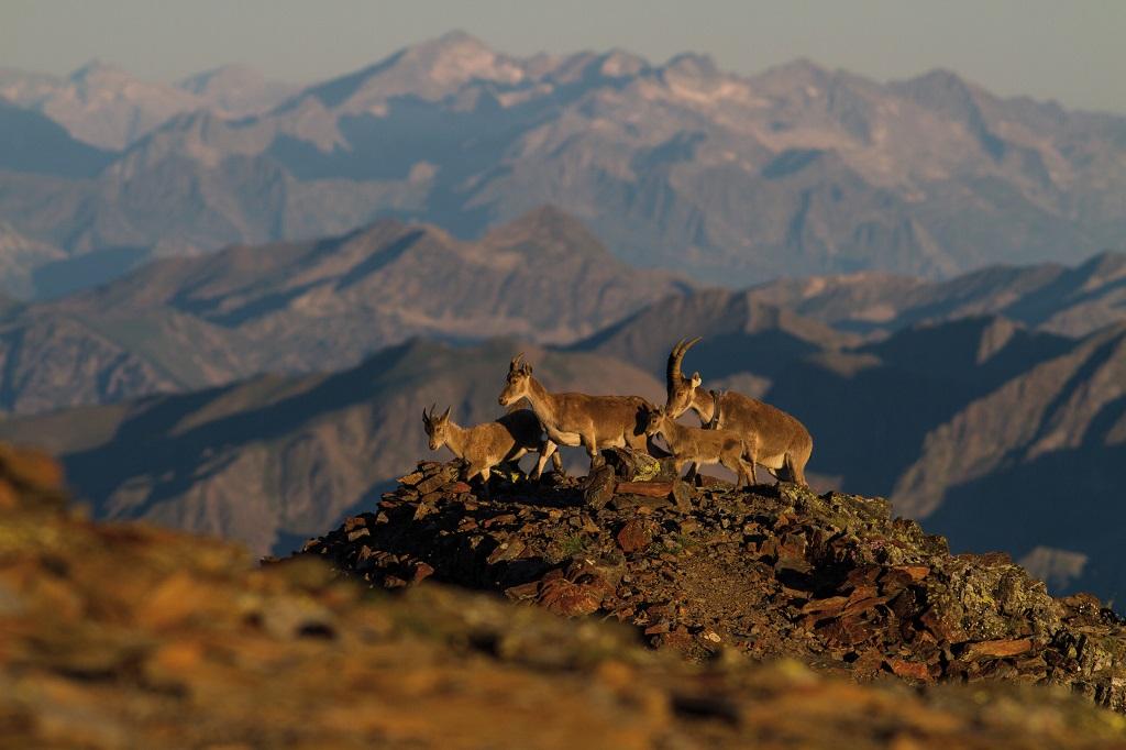 Famille de bouquetins au lever du jour dans les Pyrénées Ariégeoises