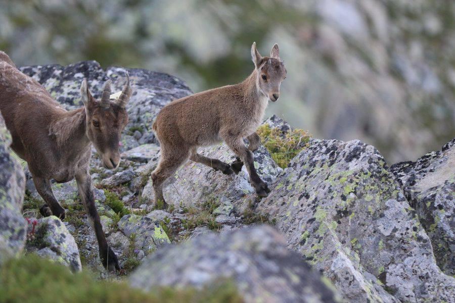 Femelle et son cabri - © F.Luc - Parc national des Pyrénées