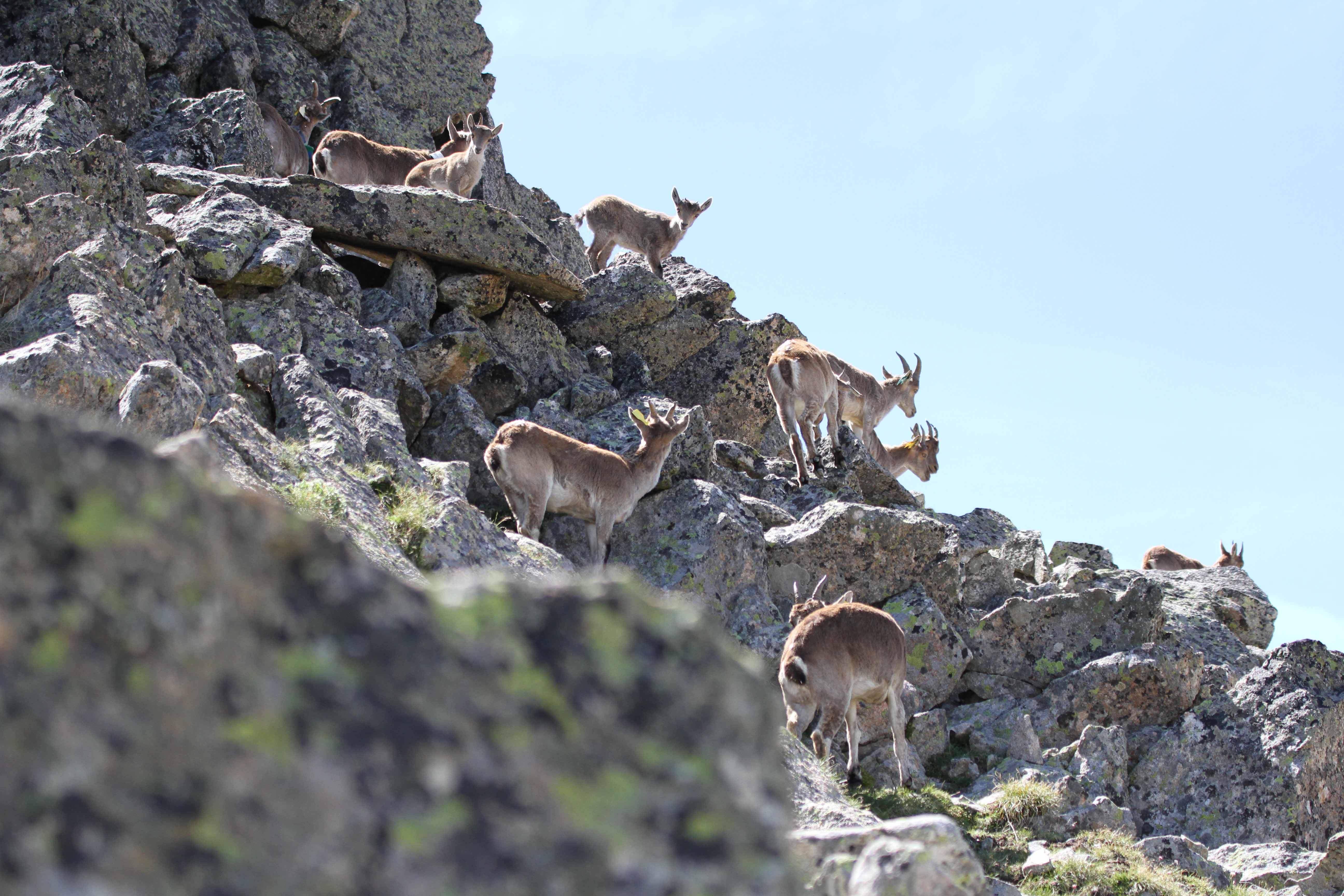 Groupe de femelles et de cabris ©J.P. Crampe