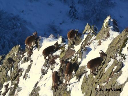 Groupe de bouquetins dans la neige