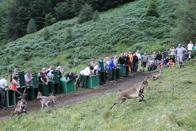 Ouverture des caisses le 30 juillet 2014 et 11 bouquetins rejoignent les Pyrénées