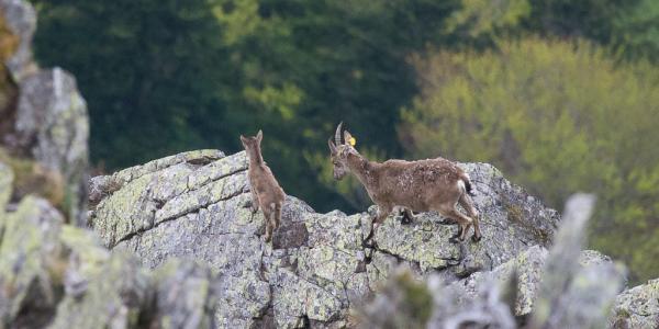 Un cabri né au printemps 2017 dans les Pyrénées Ariégeoises accompagné de sa mère