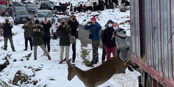 10 bouquetins sont venus compléter les effectifs du Mont Béas en Ariège
