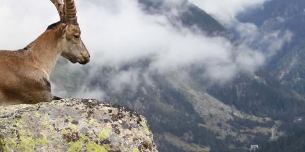 Jeune bouc surplombant la vallée ©Jean-Paul Crampe