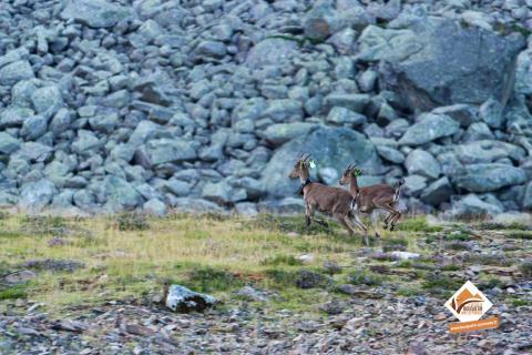 2 femelles de bouquetins lâcher à Ustou en août 2017