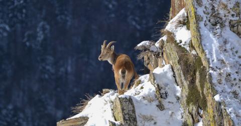 Jeune bouc les sabots dans la neige dans les Pyrénées Ariégeoises