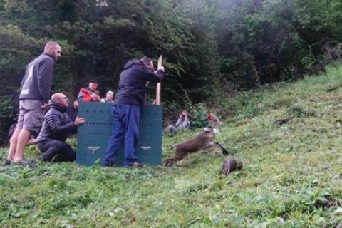 Lâcher de bouquetins en vallée d'Aspe - © P.Nuques - Parc national des Pyrénées