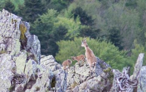 Deux cabris jumeaux nés dans les Pyrénées ariégeoises