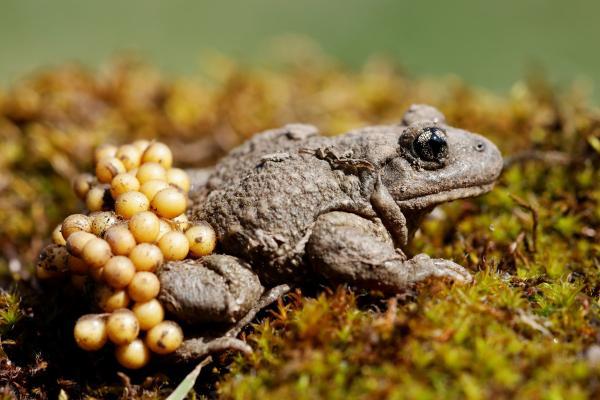 Crapaud accoucheur portant ses œufs ©C.Cuenin - Parc national des Pyrénées