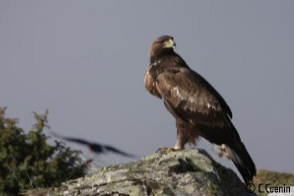 Aigle ©C.Cuenin - Parc national des Pyrénées