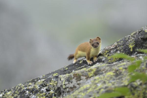 Hermine sur un caillou ©L.Nédélec - Parc national des Pyrénées