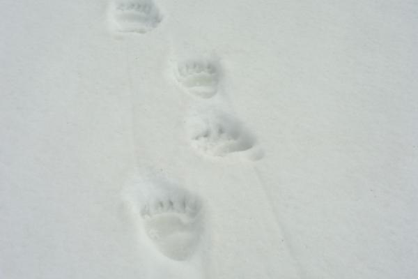 Traces d'ours dans la neige ©L.Nédélec - Parc national des Pyrénées