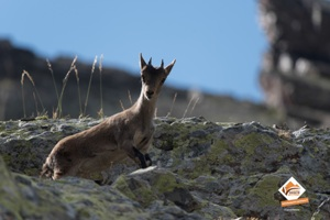Chiva le 1er cabri Pyrénéen