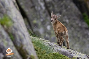 Cabri dans les Pyrénées Ariégeoises