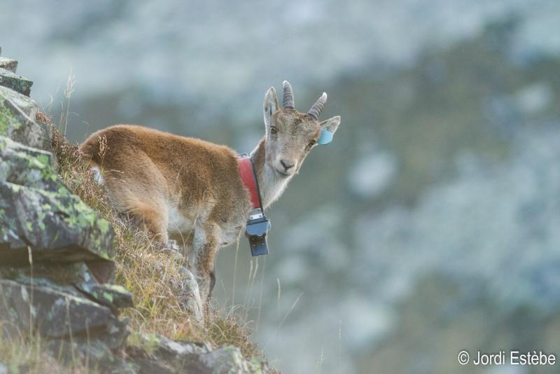 Jeune bouc de 2 ans réintroduit dans les Pyrénées Ariégeoises en 2014.