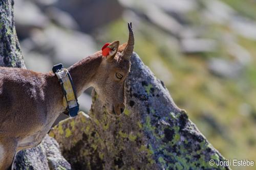 Etagne équipée d'un collier GPS © Jordi Estèbe