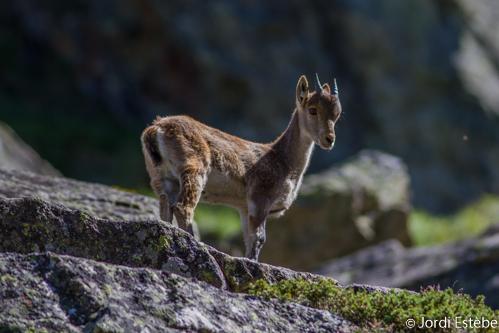 Cabri de quelques mois dans les Pyrénées Ariégeoises ©Jordi Estèbe