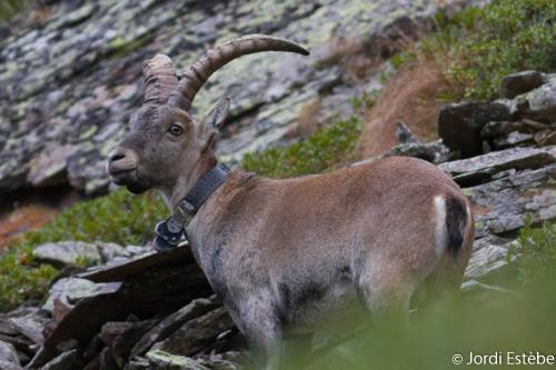 Bouc de 8 ans photographié dans le Parc natural de l'Alt Pirineu ©Jordi Estèbe