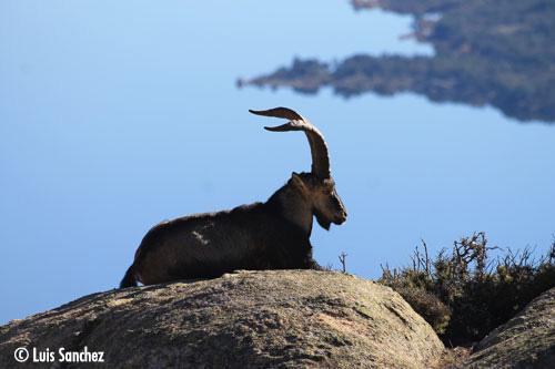 Bouc au repos - Sierra de Guadarrama