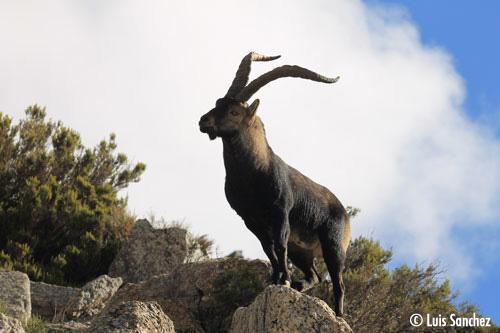 Bouc - Sierra de Guadarrama