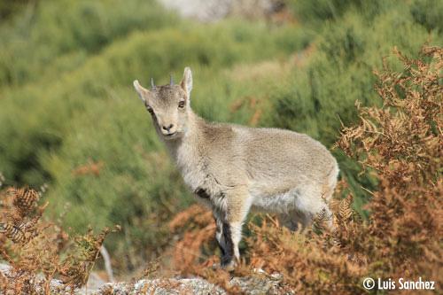Cabri dans les fougères - Sierra de Guadarrama
