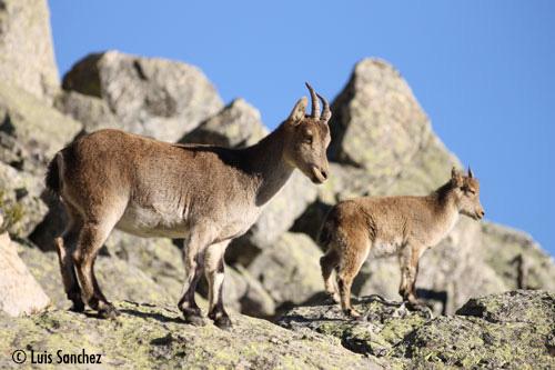Femelle bouquetin et son cabri - Sierra de Guadarrama