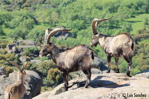 Groupe de boucs - Sierra de Guadarrama