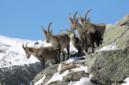 Groupe de mâles - Sierra de Guadarrama