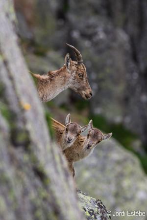 Deux jumeaux de bouquetins nés en 2016 dans les Pyrénées ariégeoises.