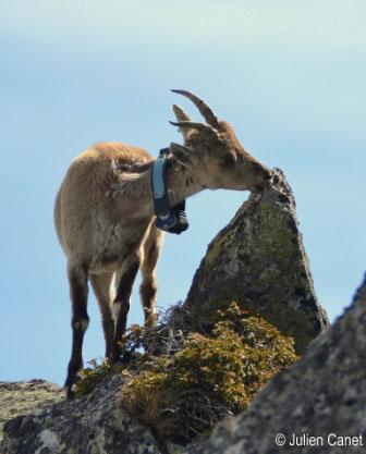Etagne mangeant du lichen sur un rocher